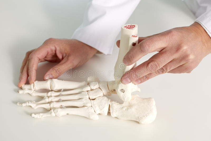 Foot bone. Close-up of foot bone model in hands of doctor royalty free stock image