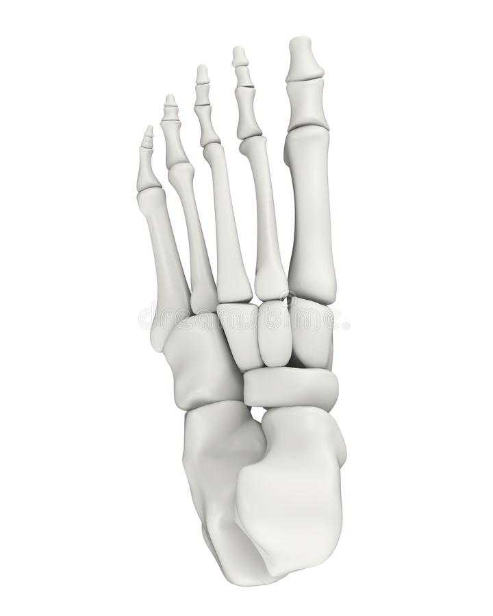 Foot Bones Anatomy Isolated Stock Illustration Illustration Of