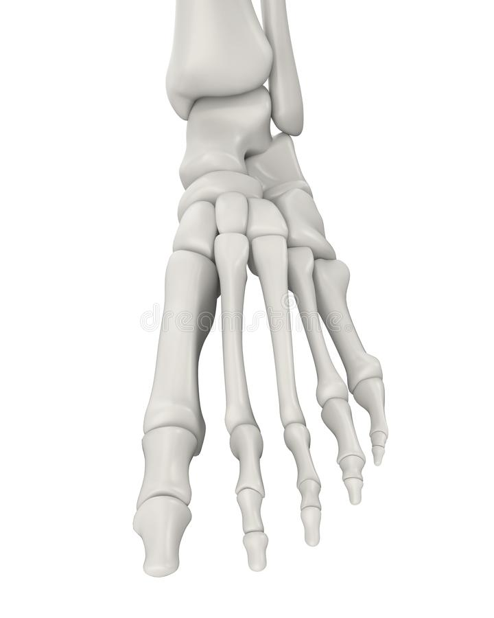 Foot Bones Anatomy Isolated Stock Illustration - Illustration of ...