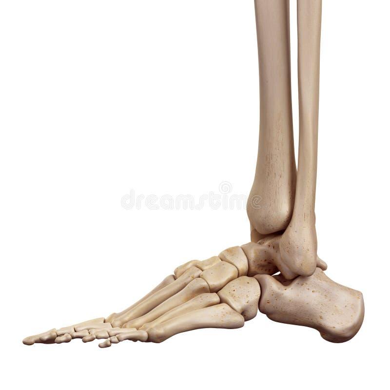 The foot bones royalty free illustration