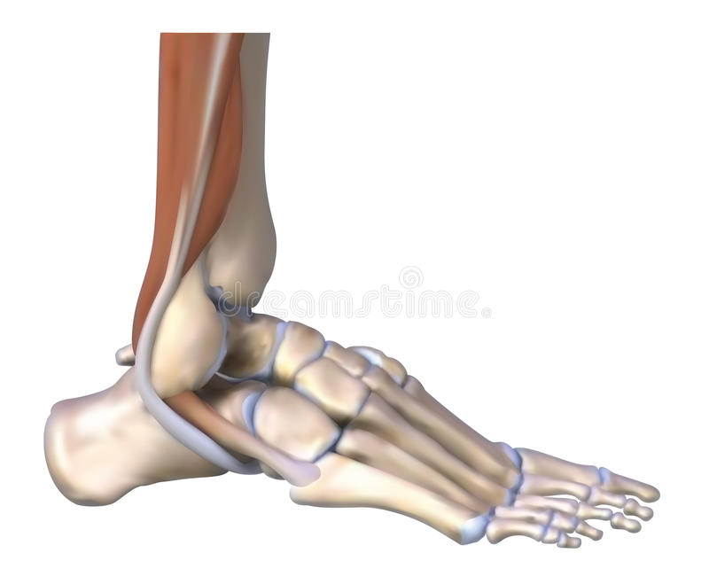 The foot bones and tendons vector illustration