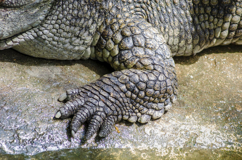 Foot crocodile royalty free stock photo