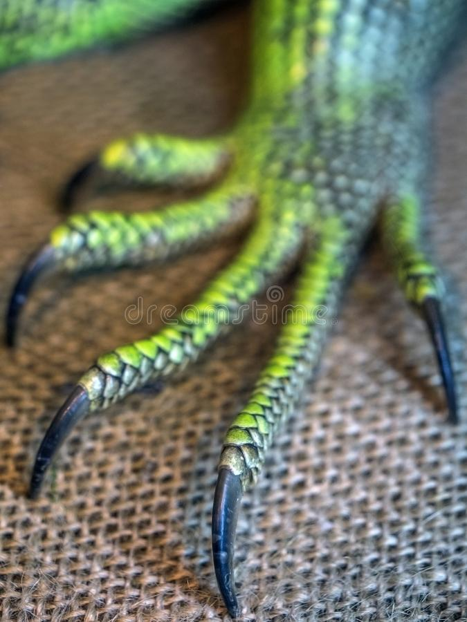 A foot of an iguana with claws. A monster reptile foot. Green foot of an iguana with long toes and big claws on grey background royalty free stock photos