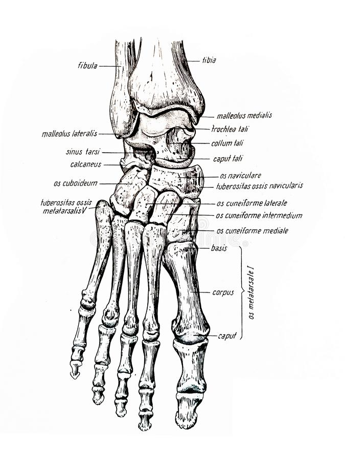 The foot and its components bones stock photo