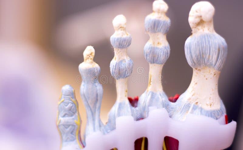 Foot medical anatomy model stock image. Image of medically - 90362225