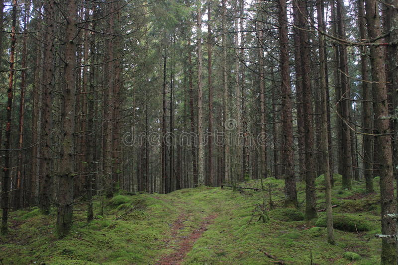 Foot path through a pine forest. Pine forest full of trees. Foot path leading through the forest stock photos