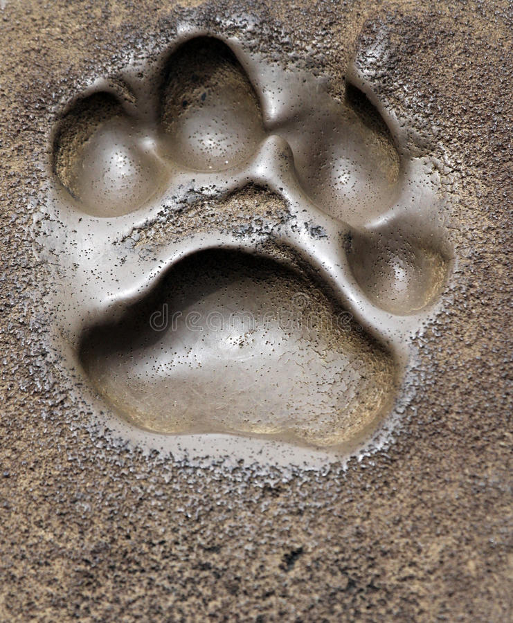 Foot Print. Animal Foot Print in Soft Mud stock image