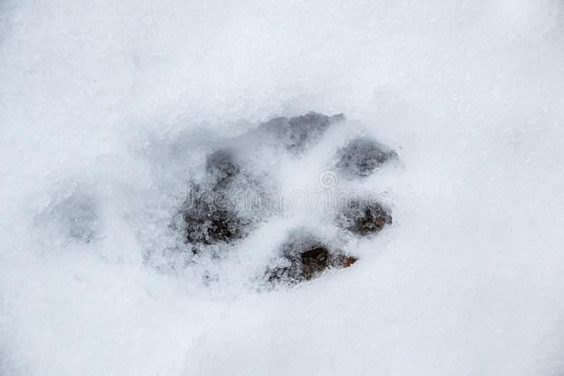Foot print of a dog or a wolf on the white snow stock photos
