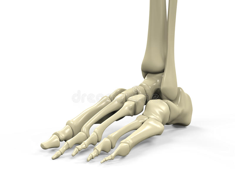 Foot Skeleton Anatomy stock illustration. Illustration of ...
