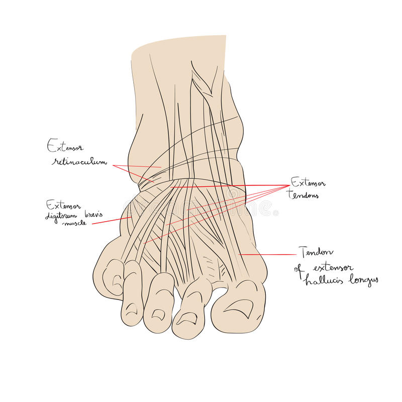 Foot tendons color stock illustration. Illustration of human - 94731094