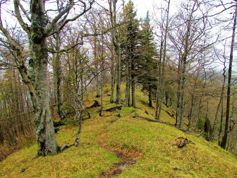 Foot trail leading across a ridge covered in forest. Foot trail leading across a ridge in Slovenia covered in beech and spruce forest about to sprout fresh royalty free stock image