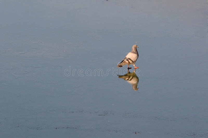 On foot on water. Pigeons walk about ice.They collect panary crumbs.Ice is covered by the layer of water.Birds are reflected in water as in a mirror stock photos