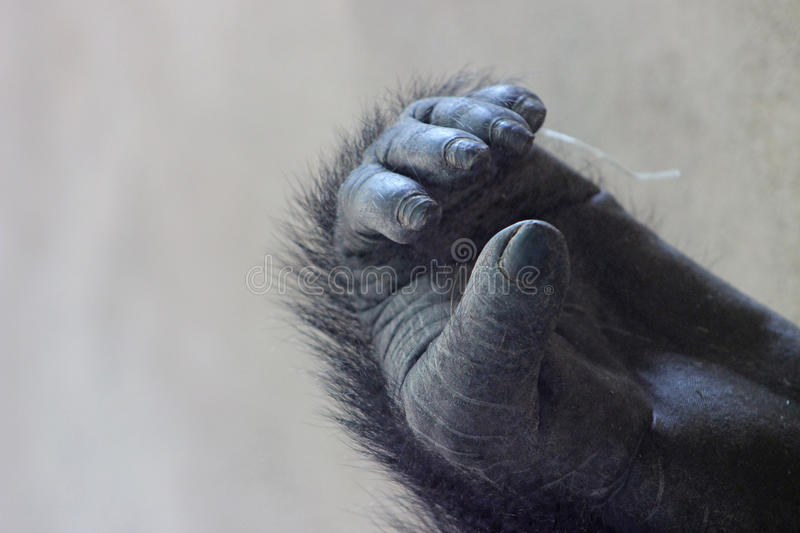 Foot of Western Lowland Gorilla stock images