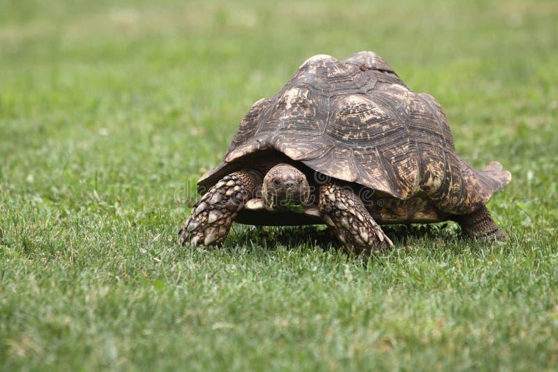 footed красная черепаха стоковые изображения