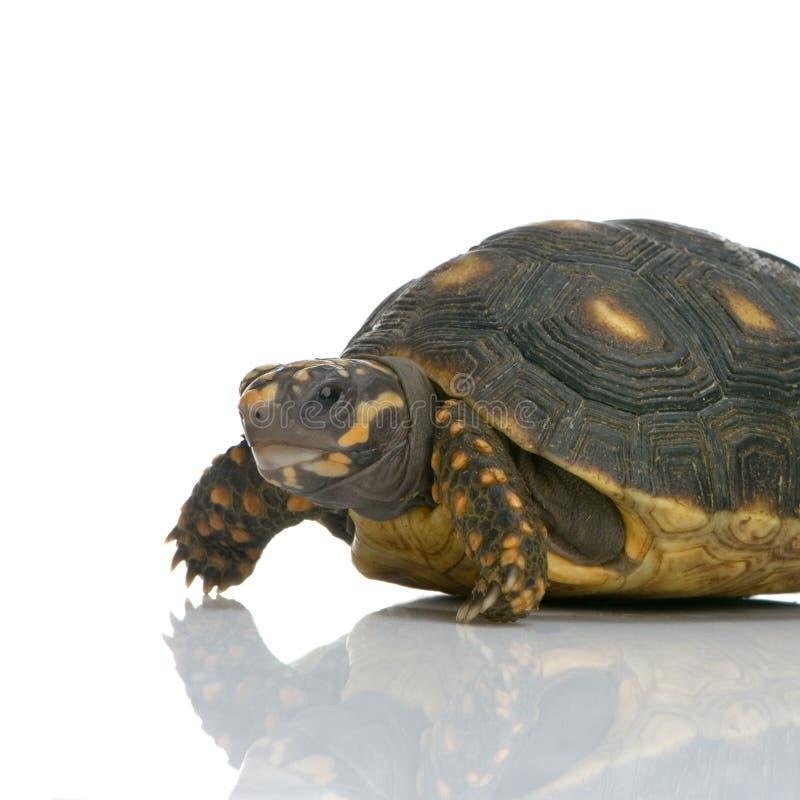 footed красная черепаха стоковое изображение rf
