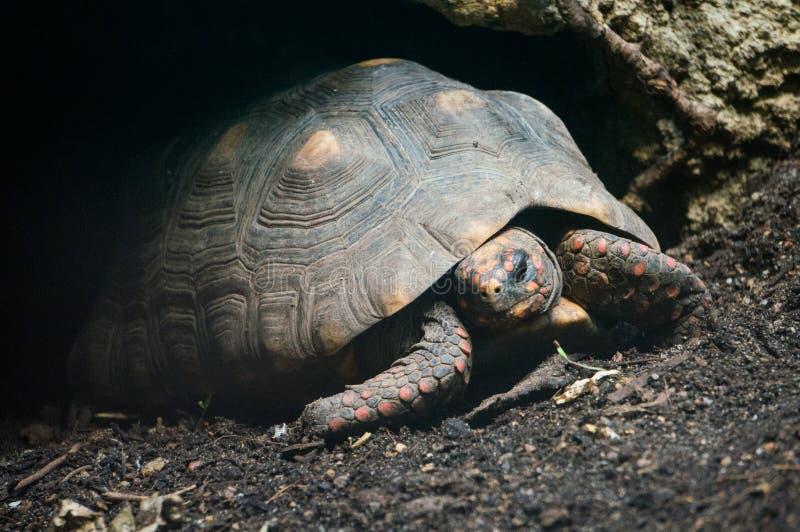 footed красная черепаха стоковое фото