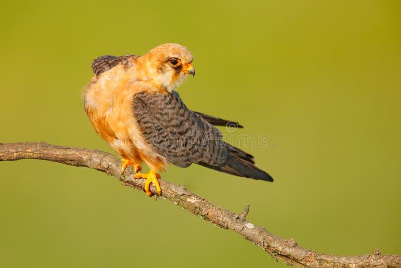 Footed jastrząbek, Falco vespertinus, ptasi obsiadanie na gałąź z jasnym zielonym tłem, cleaning upierzenie, piórko w rachunku, a obrazy royalty free