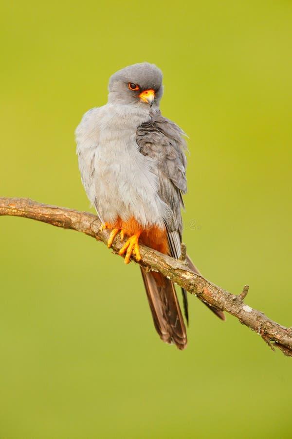 Footed jastrząbek, Falco vespertinus, ptasi obsiadanie na gałąź z jasnym zielonym tłem, cleaning upierzenie, piórko w rachunku, a zdjęcie stock