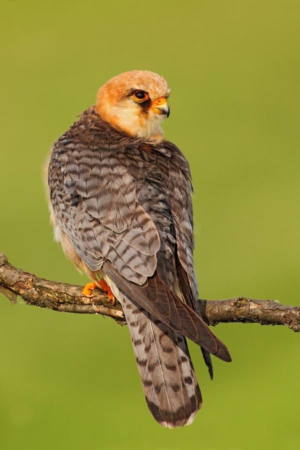 Footed jastrząbek, Falco vespertinus, ptasi obsiadanie na gałąź z jasnym zielonym tłem, Rumunia fotografia royalty free