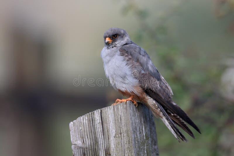 Download Footed Jastrząbek, Falco Vespertinus Zdjęcie Stock - Obraz złożonej z czerwień, eurydice: 57651894