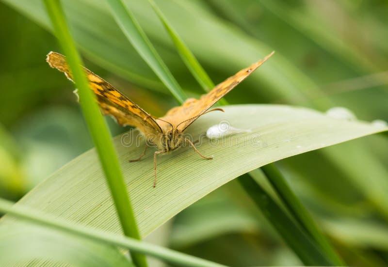 Footed motyl na gładkim liściu z raindrop zdjęcie stock
