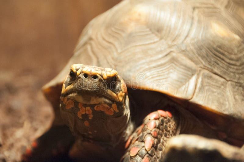 footed röd sköldpadda arkivfoton