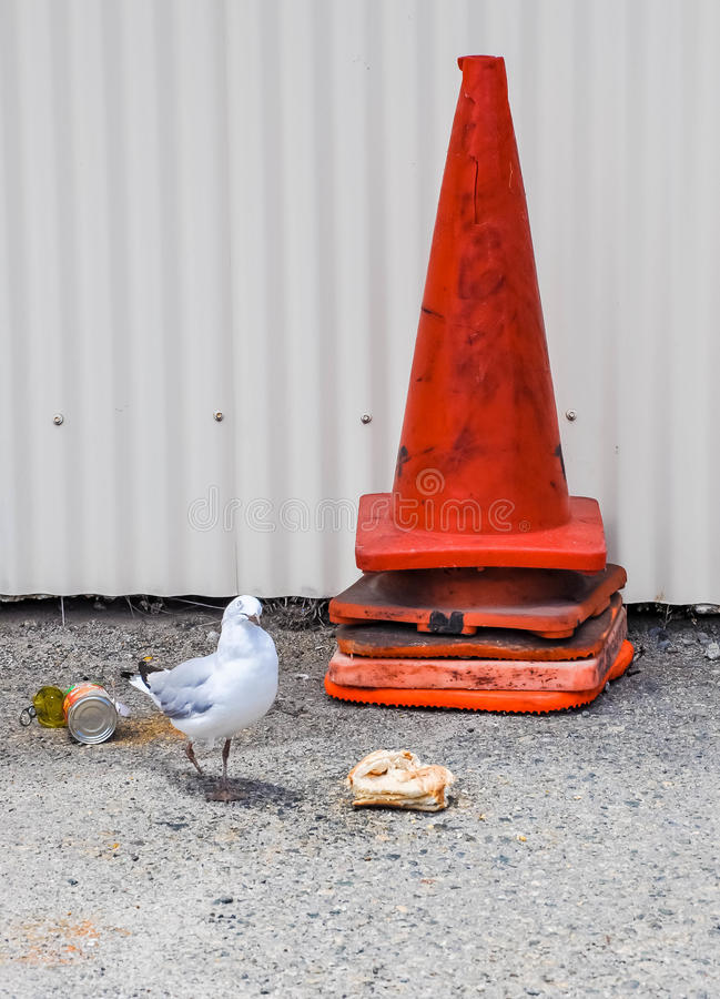 Footed Seagull Foraging fotografia royalty free
