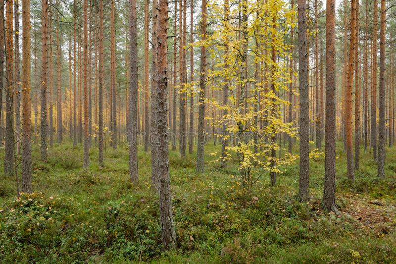 Footpath autumn forest landscape in Finland. At cloudy day stock photography