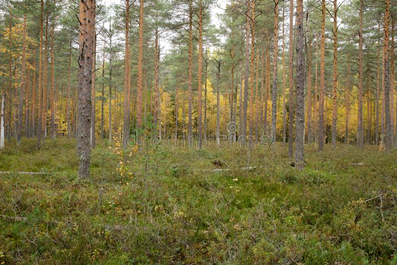 Footpath autumn forest landscape in Finland. At cloudy day stock photo