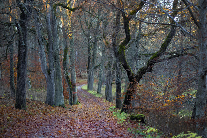 Footpath in beech forest royalty free stock photo