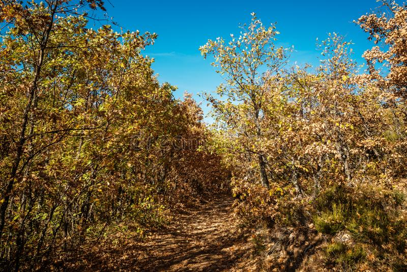 Footpath in beech forest in Autumn time royalty free stock photo