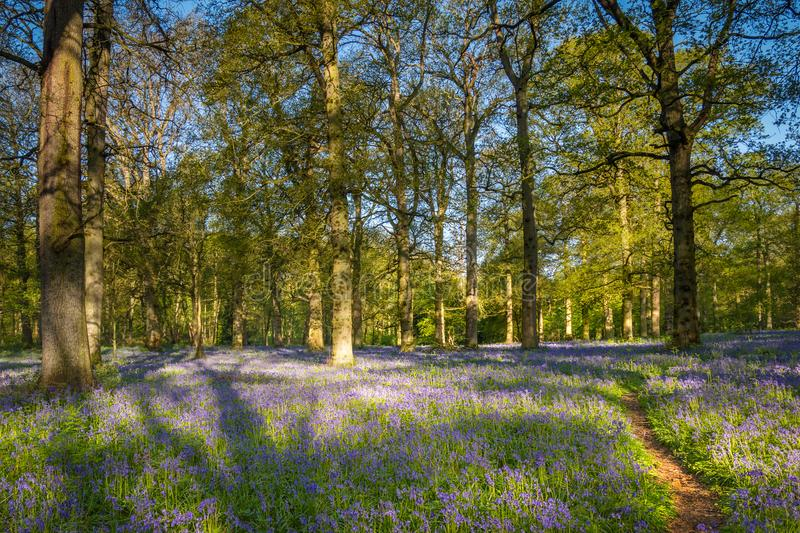 A Footpath in a Bluebell Wood stock image