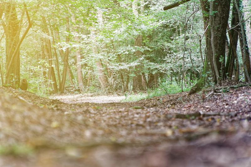 Footpath through Green Forest of Beech Trees in autumn. stock images