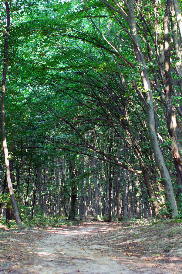 Footpath through green forest with a frame of beech trees royalty free stock image