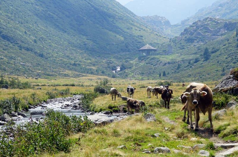 Footpath i krowy zdjęcie stock
