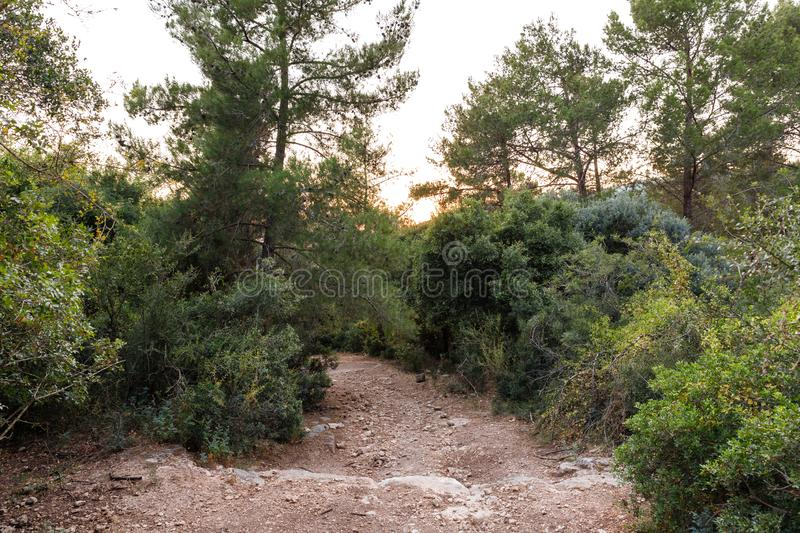 The footpath  leading through the Hanita forest in northern Israel, in the rays of the setting sun. The footpath leading through the Hanita forest in northern stock image