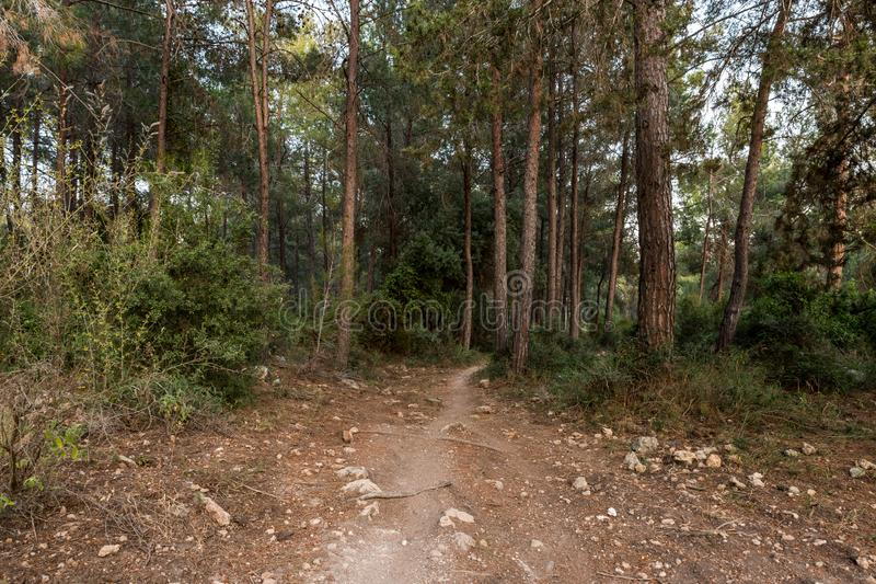 The footpath  leading through the Hanita forest in northern Israel, in the rays of the setting sun. The footpath leading through the Hanita forest in northern royalty free stock photos