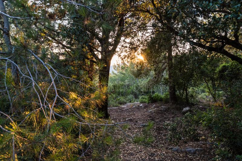 The footpath  leading through the Hanita forest in northern Israel, in the rays of the setting sun. The footpath leading through the Hanita forest in northern stock photos