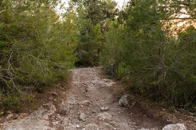 The footpath  leading through the Hanita forest in northern Israel, in the rays of the setting sun. The footpath leading through the Hanita forest in northern royalty free stock photo
