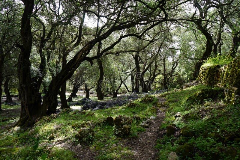 Footpath pod drzewami oliwnymi zdjęcie royalty free