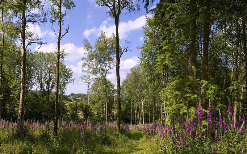 Footpath przy naparstnic drewnami zdjęcia stock