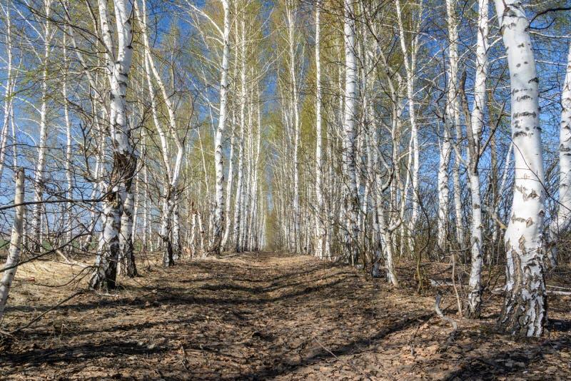 Footpath wśród drzewnego flancowania Brzozy w wiosna słonecznym dniu niebieska spowodowana pola pe?ne si? chmura dzie? zielonych  zdjęcie stock