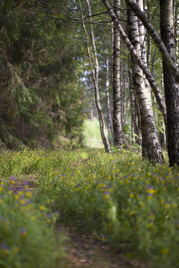Footpath w brzozy drewnie obraz stock