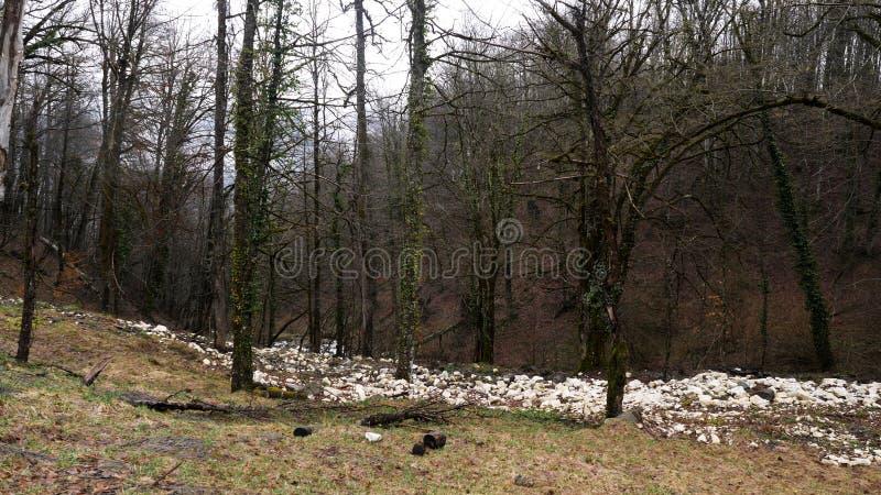 Footpath w jesień lesie z prostymi bagażnikami zakrywającymi z bluszczem na popielatym nieba tle Akcyjny materia? filmowy Mechaci obraz royalty free
