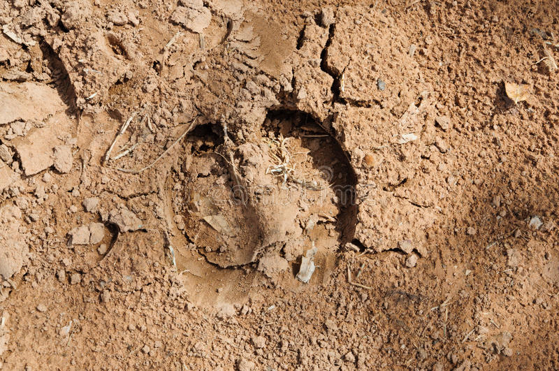 Footprint of buffalo. stock image. Image of bombay, moist ...