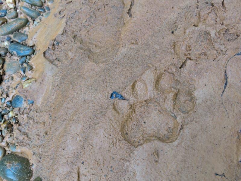 Footprint of jaguar on mud. Madidi Park, La Paz Region. Bolivia stock photos