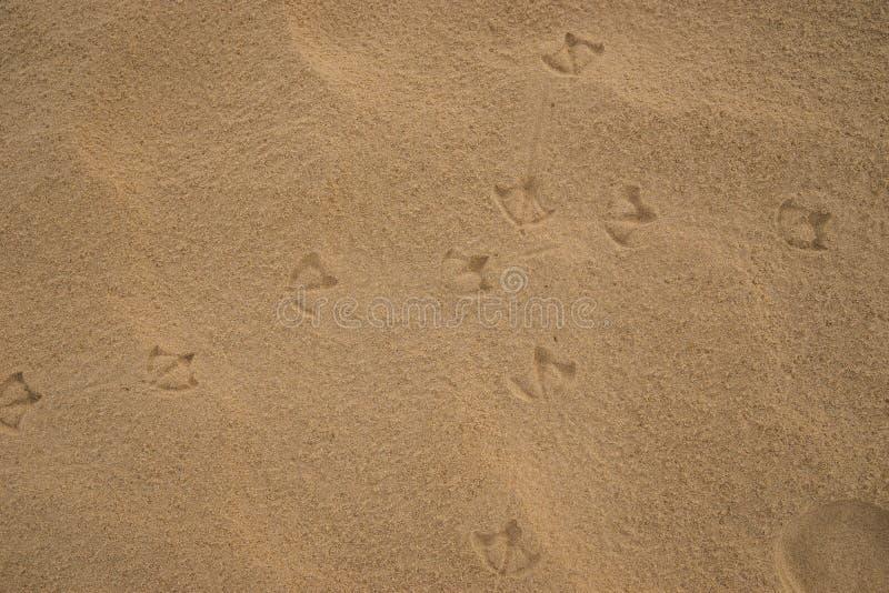 Footprints of Australian Ibis birds on wet beach sand. Footprints of Ibis birds on wet beach sand royalty free stock photo