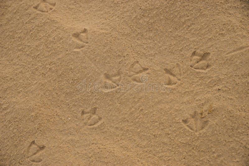 Footprints of Australian Ibis birds on wet beach sand.  stock photo