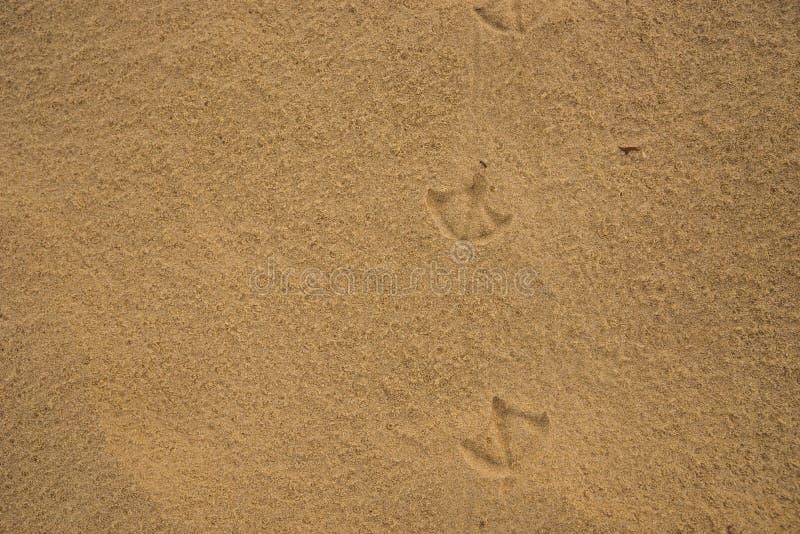 Footprints of Ibis birds on wet beach sand. Footprints of Australian Ibis birds on wet beach sand stock image