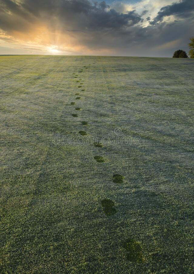 Footprints in the dew covered grass at a golf course royalty free stock image
